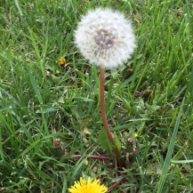 A Wishing Flower as it is called in our family!